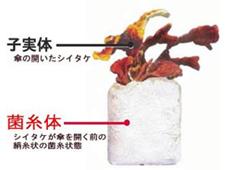 子実体と菌糸体