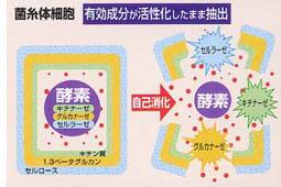 菌糸体細胞